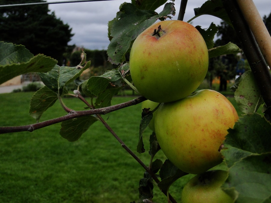 Two apples on the apple tree