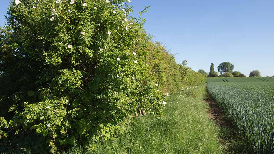 Natural hedgerow