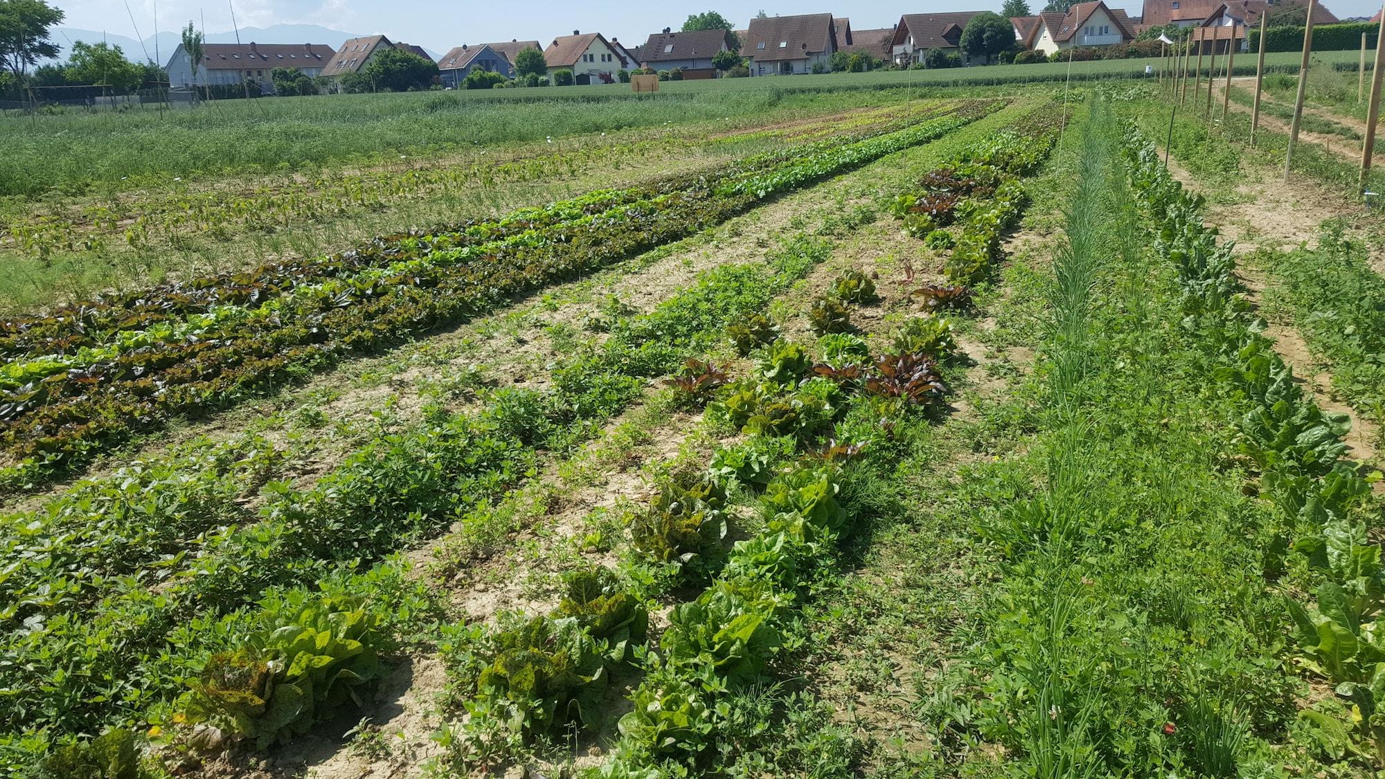 Market Garden Crop rows